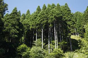 杉木立の写真素材 [FYI04593305]