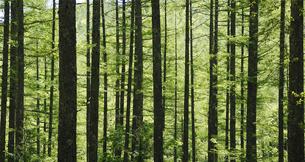 針葉樹林の写真素材 [FYI04593311]