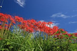 初秋の花 青空に彼岸花の写真素材 [FYI04593360]