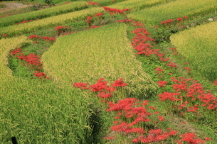 初秋の花 秋田舎の写真素材 [FYI04593361]