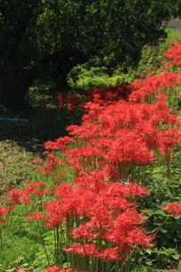 初秋の花 彼岸花の写真素材 [FYI04593362]