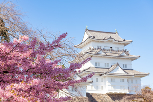 日本のお城と河津桜の写真素材 [FYI04593562]