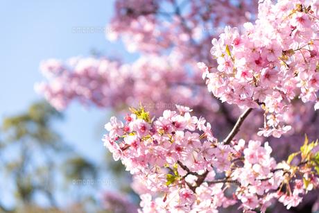 河津桜の写真素材 [FYI04593563]