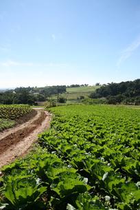 サンパウロ近郊のキャベツ畑と青空の写真素材 [FYI04593568]