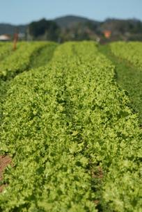 サンパウロ近郊で栽培されているレタスの写真素材 [FYI04593570]