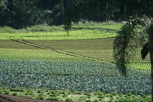 サンパウロ近郊の野菜畑の写真素材 [FYI04593571]