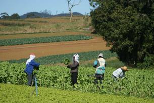 サンパウロ近郊での農作業風景の写真素材 [FYI04593572]
