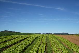 サンパウロ近郊のレタス畑と青空の写真素材 [FYI04593575]