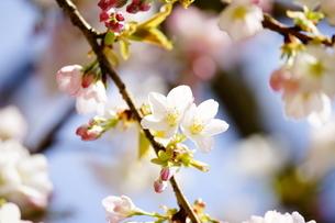 桜 苔清水 (こけしみず)の写真素材 [FYI04593860]