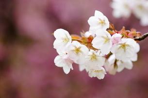 桜 嵐山 (あらしやま)の写真素材 [FYI04593911]