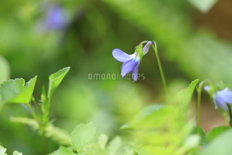 庭の片隅に咲いたスミレの写真素材 [FYI04593929]