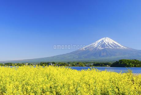 山梨県 菜の花畑と富士山の写真素材 [FYI04594279]