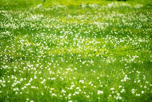 ワタスゲの花咲く浄土平湿原の写真素材 [FYI04594541]