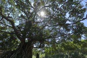 バンヤンの木 ベトナムの写真素材 [FYI04594867]