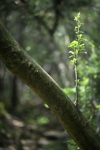 倒木に芽生えた若木の写真素材 [FYI04595031]