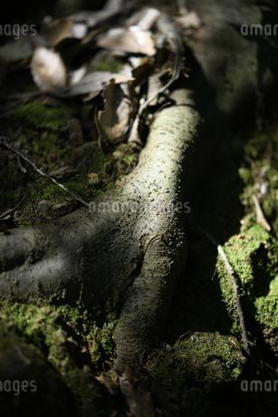 大きな広葉樹の根の写真素材 [FYI04595032]
