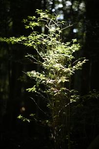 陽に照らされる若木の写真素材 [FYI04595033]