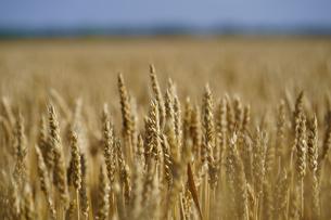小麦畑の写真素材 [FYI04595132]