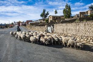 羊を追うボリビアの先住民アイマラ族の写真素材 [FYI04595312]