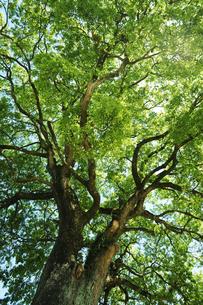 新緑の樹の写真素材 [FYI04595568]