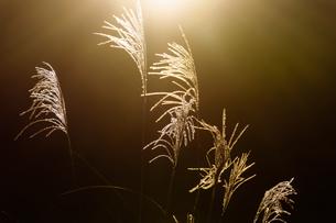 透過して輝くすすきの穂の写真素材 [FYI04595570]