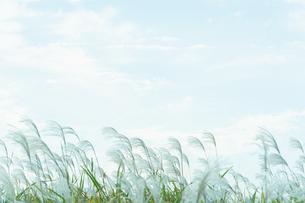 風にたなびくすすきの穂の写真素材 [FYI04595571]