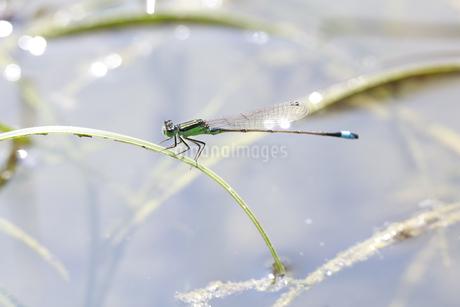 小川の水草に止まり縄張りを主張するアオモンイトトンボのオスの写真素材 [FYI04595592]