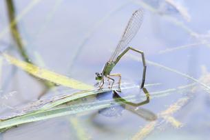 小川の水草に産卵するアオモンイトトンボの写真素材 [FYI04595594]
