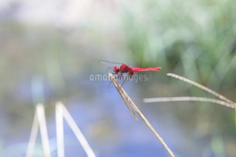 小川の近くの草むらで縄張りを主張するショウジョウトンボの写真素材 [FYI04595595]