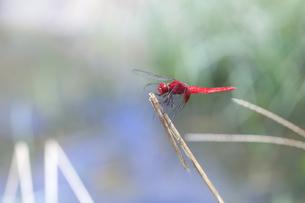 小川の近くの草むらで縄張りを主張するショウジョウトンボの写真素材 [FYI04595596]