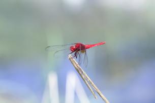 小川の近くの草むらで縄張りを主張するショウジョウトンボの写真素材 [FYI04595597]