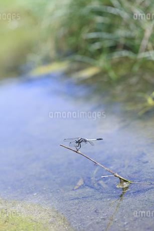 小川に出た枯れ枝に止まり縄張りを主張するシオカラトンボの写真素材 [FYI04595602]