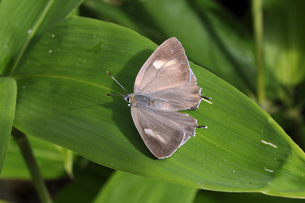 エゾミドリシジミの雌(北海道・鶴居村)の写真素材 [FYI04595736]