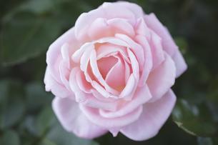 ピンクのバラの花の写真素材 [FYI04595763]