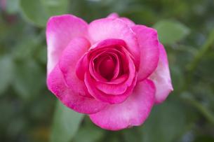 ピンクのバラの花の写真素材 [FYI04595764]
