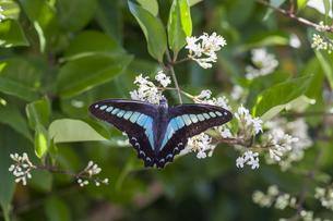 花の蜜を吸うアオスジアゲハの写真素材 [FYI04595793]