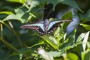 樹木の葉に止まるアオスジアゲハの写真素材 [FYI04595795]