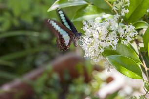 花の蜜を吸うアオスジアゲハの写真素材 [FYI04595797]