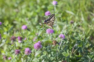 ムラサキツメクサの蜜を吸うキアゲハの写真素材 [FYI04595801]