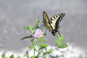 ムラサキツメクサの蜜を吸うキアゲハの写真素材 [FYI04595804]