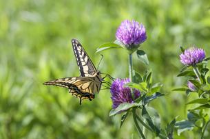 ムラサキツメクサの蜜を吸うキアゲハの写真素材 [FYI04595808]