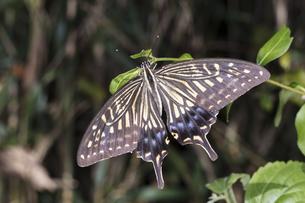 翅を開いて細枝の先端に止まるナミアゲハ(アゲハ)の写真素材 [FYI04595812]