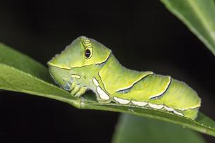 ユズの葉の上を這うナミアゲハ(アゲハ)の幼虫の写真素材 [FYI04595814]