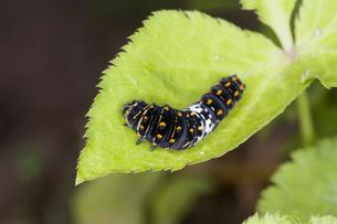 ミツバの葉の上を這うキアゲハの幼虫の写真素材 [FYI04595827]