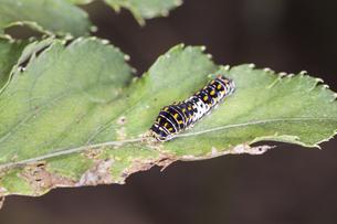 アシタバの葉の上を這うキアゲハの幼虫の写真素材 [FYI04595831]