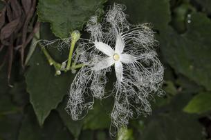 夜に咲くカラスウリの花の写真素材 [FYI04595837]