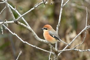 枝に留まった雄の百舌鳥の写真素材 [FYI04595908]