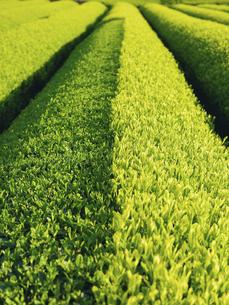 新芽が半分刈り取られた茶畑の畝の写真素材 [FYI04596018]
