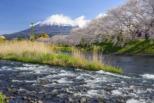 静岡県 潤井川より桜並木と富士山の写真素材 [FYI04596023]