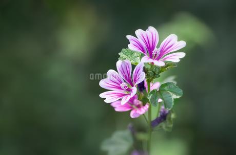 ゼニアオイ(コモンマロウ)の花の写真素材 [FYI04596026]